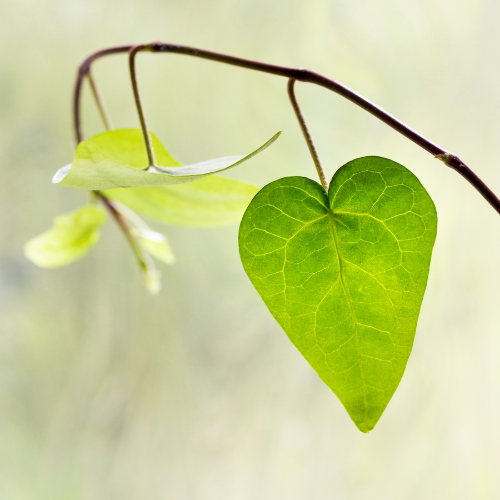 Leaf in shape of heart.png